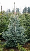 Korktanne Weihnachtsbaum
