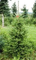 Frasertanne Weihnachtsbaum