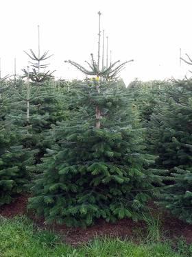 Nordmanntanne Weihnachtsbaum