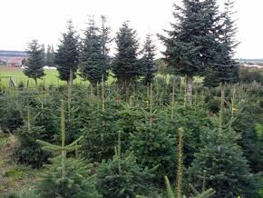 Weihnachtsbäume aus eigenen Kulturen im Vogelsberg / Hessen